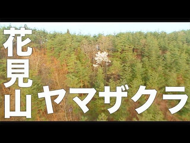 もうすぐ10年、福島。【花見山・福島・168】「ヤマザクラ」空撮・たごてるよし_Aerial_TAGO channel