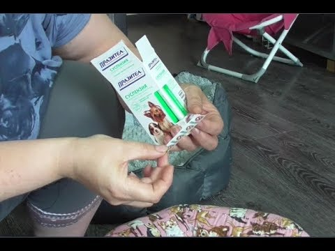 Дегельминтизация щенков чихуахуа перед прививкой Празителом