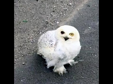 starving-snowy-owl-fighting-for-life-on-side-of-freeway