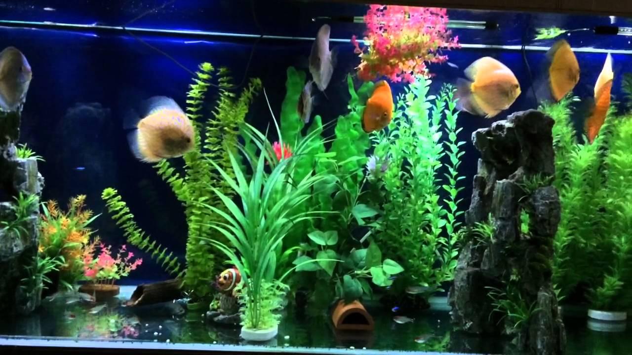 Freshwater aquarium fish not eating - Discus Not Eating Help Video