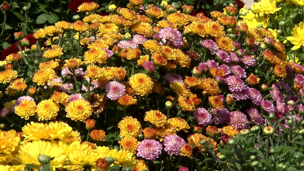 Garden mums are a symbol of fall youtube garden mums are a symbol of fall izmirmasajfo