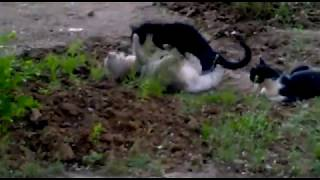 любовь по кошачьи! (волгодонск)