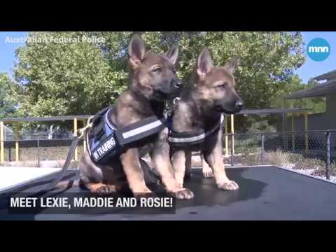 Meet the newest dogs in the Australian Police Dog Academy