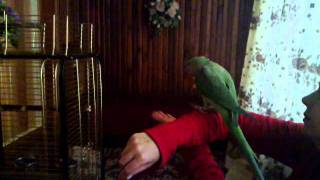 Александрийский попугай АРЧИ!