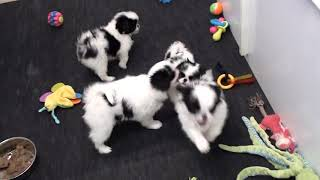 Japanese Chin Puppies