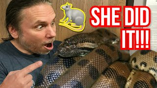 MY ANACONDA FINALLY ATE ON ITS OWN!! | BRIAN BARCZYK