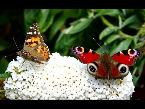English Summer Butterflies