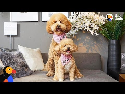 Tiny Rescue Dog Has Supersized Twin | The Dodo