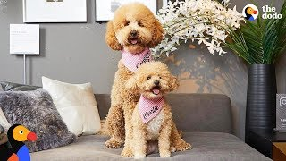 Tiny Rescue Dog Has Supersized Twin | The Dodo