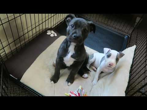 New pitbull puppies, Enzo and Romeo | VLOG #34