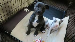 New pitbull puppies, Enzo and Romeo | VLOG #34