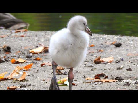 Flamingokuiken zet eerste stapjes in DierenPark Amersfoort