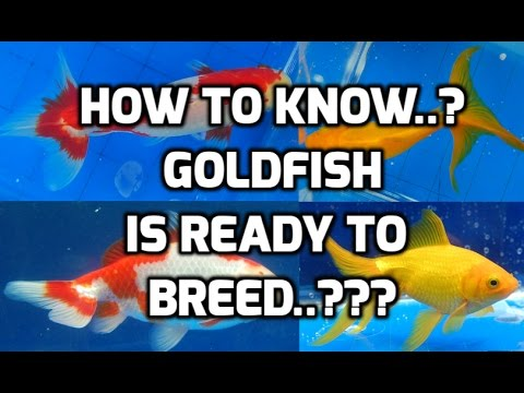 How To Know GOLDFISH Is Ready To Breed /Breeding Tank Video