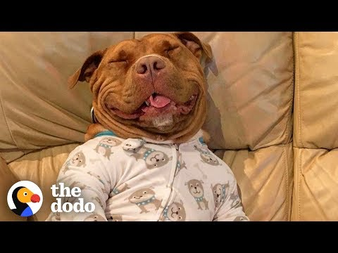 Proof That Pit Bulls Are Big Babies | The Dodo