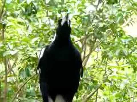 Adult magpie trills