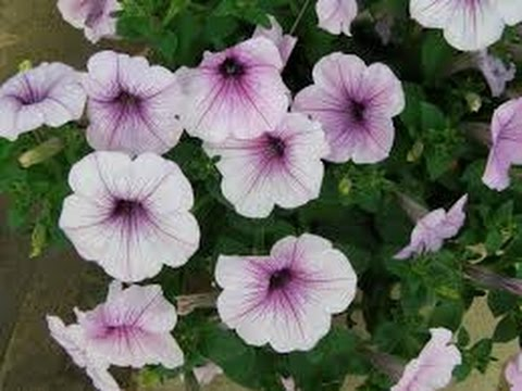 193 How To Grow Petunia Some Things About Petunia Hindi Urdu 12 11 16 Youtube