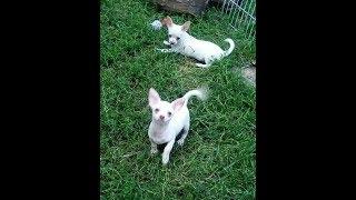 Купить щенка чихуахуа недорого