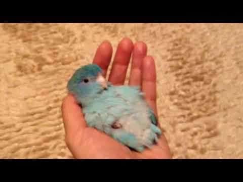 赤ちゃんマメルリハ🐣🐥/Baby Pacific parrotlet