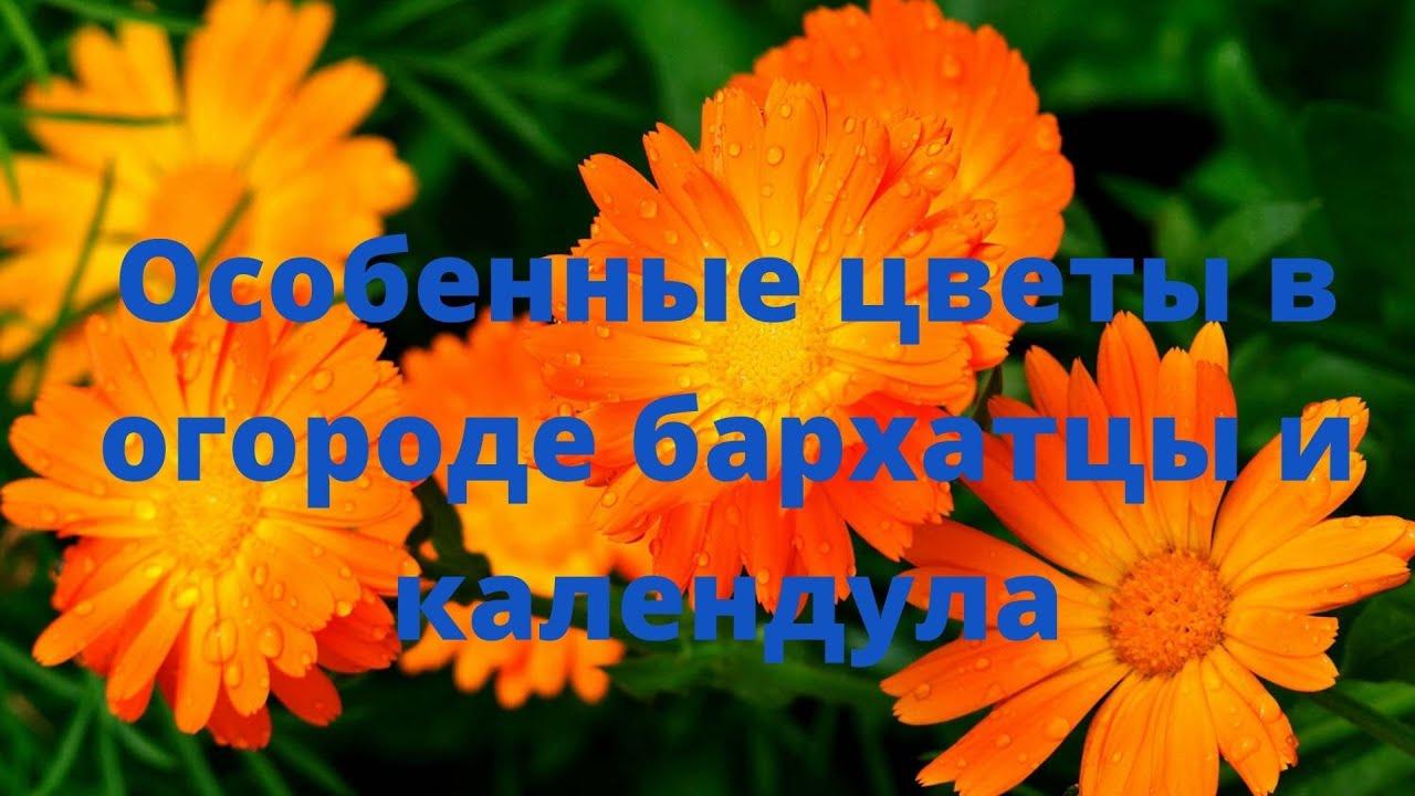 Особенные цветы в огороде: бархатцы, календула