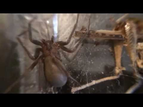 : Brown Recluse: