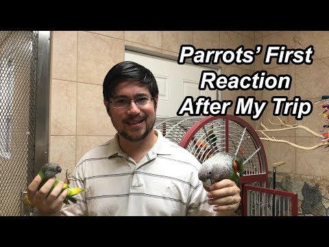My Parrots' Reaction When I Return from a Trip