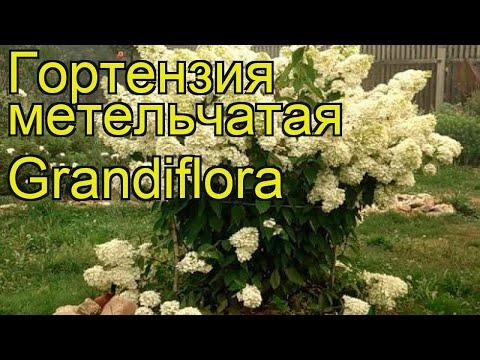Гортензия метельчатая Grandiflora. Краткий обзор, описание характеристик