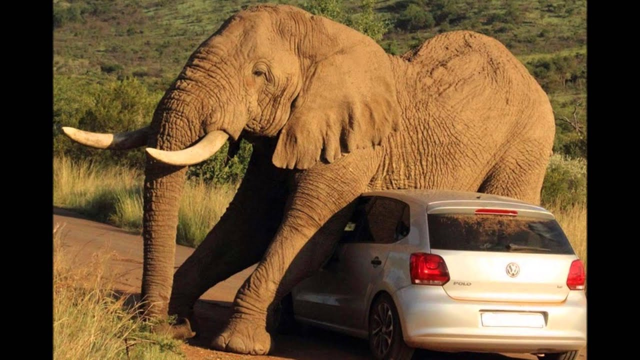 Elephant scratches itch on top of car terrifying ...