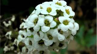Alyssum White Flowers Beautiful Pictures Romance