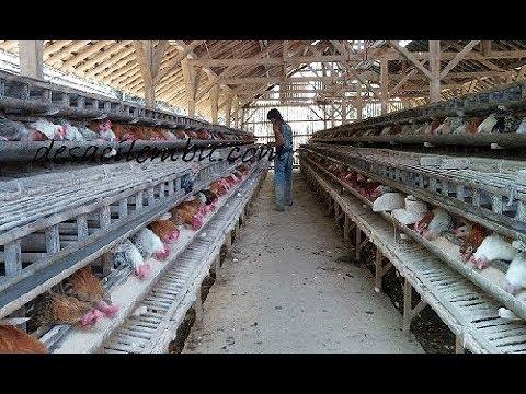 DISTRIBUTOR dan SUPPLIER TELUR AYAM KAMPUNG (Peternakan Ayam Kampung)