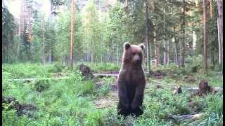 Веб-камера в национальном парке на острове Вилсанди (Vilsandi saar) транслировала жизнь медведей.