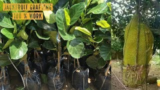 Jackfruit Grafting Technique Working 100% by attaching root