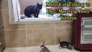 Mom Cat Talking to her Meowing Baby Kittens