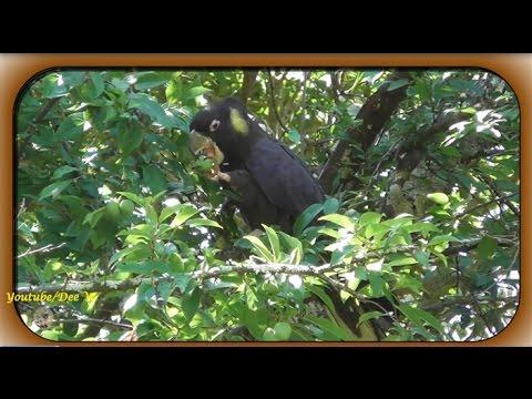 BIRDS IN MY BACKYARD / Yellow tailed Black Cockatoo