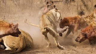 Epic Battle Between Hyenas And Lions