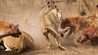 بالفيديو .. معركة شرسة بين لبؤات وضباع على فريسة