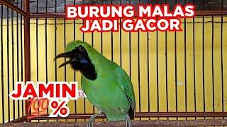 Burung Cucak Ijo Jantan Gacor Full Nembak @Kicau Pidong