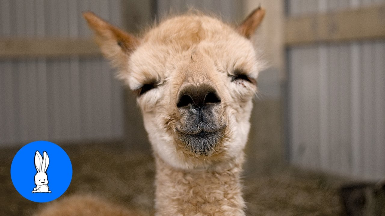 Furry Baby Alpacas - CUTEST Compilation - YouTube