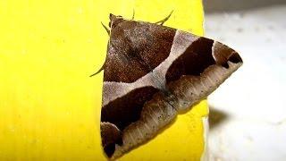 Tesouros naturais de Mação: 87 Algumas borboletas noturnas / Quelques papillons nocturnes.