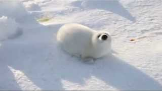 Video Baby Snow White Seal Looking For her Mother download MP3, 3GP, MP4, WEBM, AVI, FLV Juli 2018