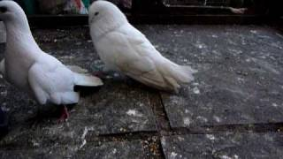 Courting male pigeon