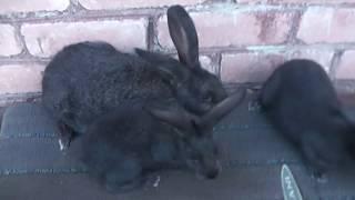 Как не ошибиться при покупке кроликов породы Советское(Полтавское) серебро.