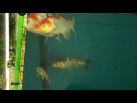 koi-spawning-eggs-in-fish-tank