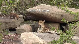 2018 Leopard Statistics