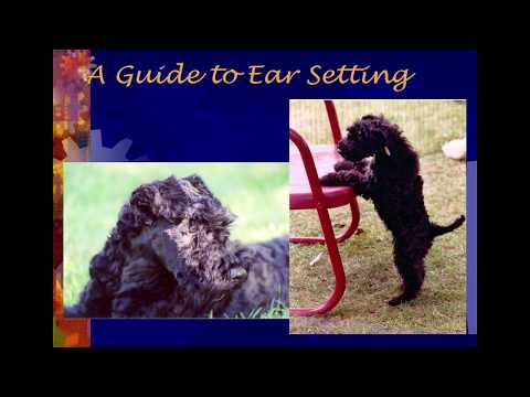Ear Setting Guide For Kerry Blue Terriers