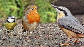 Sounds for Cats to Listen To - Beautiful Woodland Birds