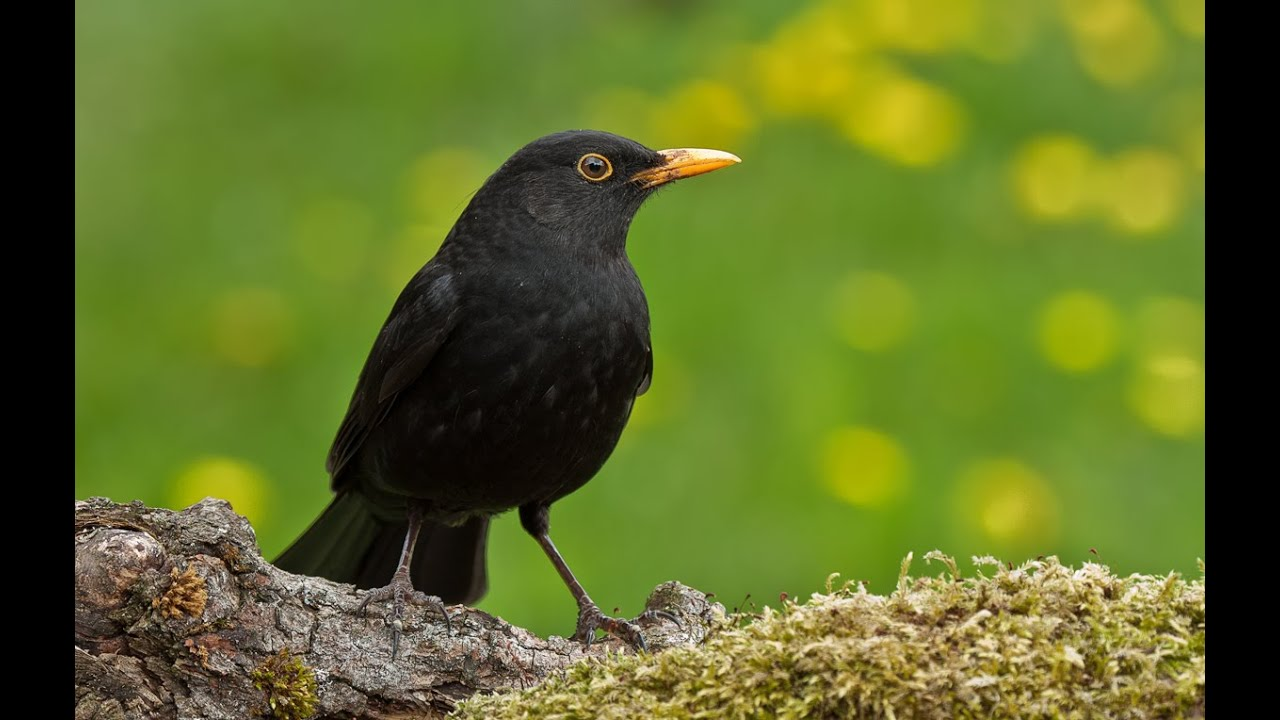 Gesang Der Amsel Oder Schwarzdrossel Song Of A Blackbird