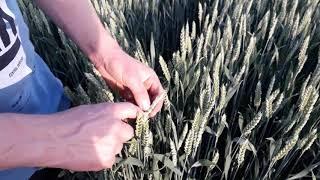 На пшенице по пахоте нет рядов. Агро-канал