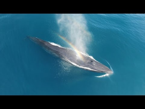 Rare bryde's whale in California