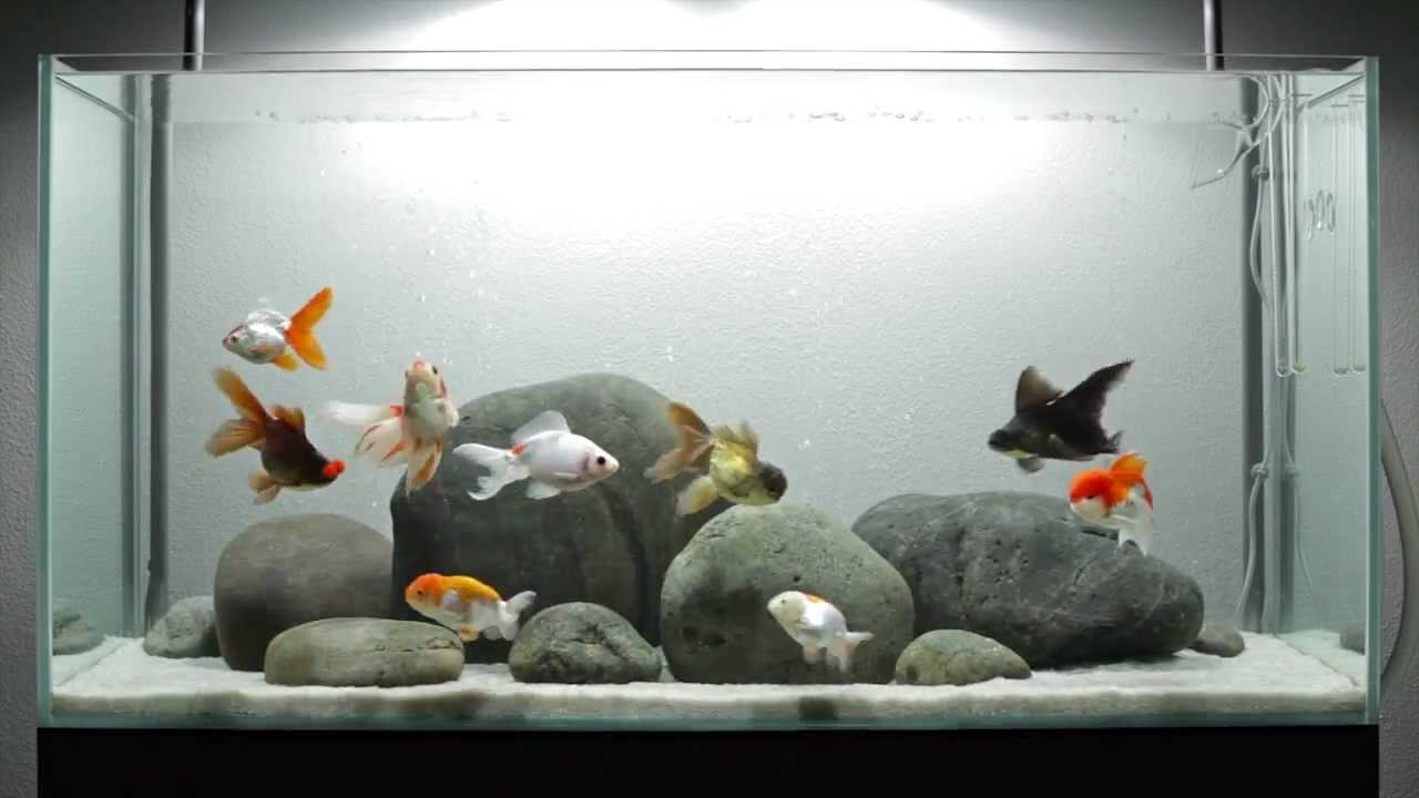 Amazing fancy goldfish aquarium youtube for Fish tank for goldfish