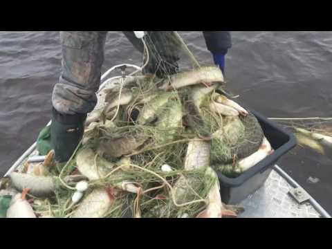 Рыбалка на Иртыше 2016, рыбу выпустили сами в шоке
